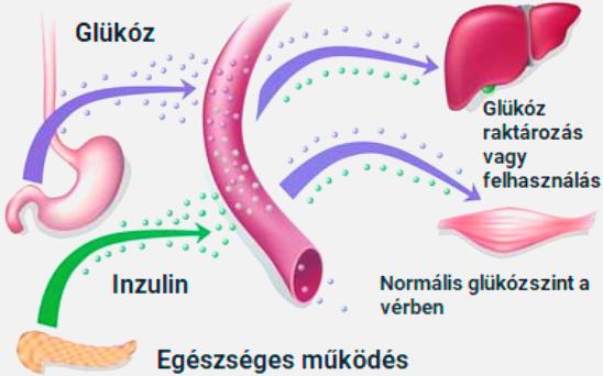 inzulin termelés
