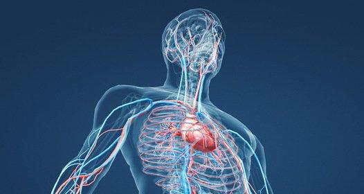 1. kép - a borda nyújt védelmet a belső szerveknek